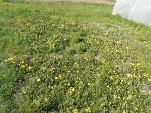 Del tarassaco abbiamo già scritto: la raccolta è terminata per l'avvenuta fioritura della varietà