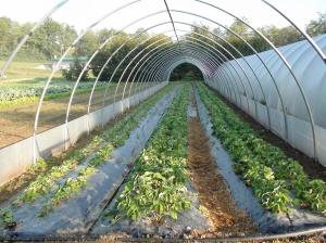 IUn nuovo tunnel in costruzione con l'impianto delle nuove fragole: cogliamo i primi frutti!