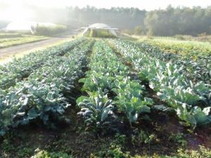 Cavoli e broccoli, speriamo in un buon raccolto