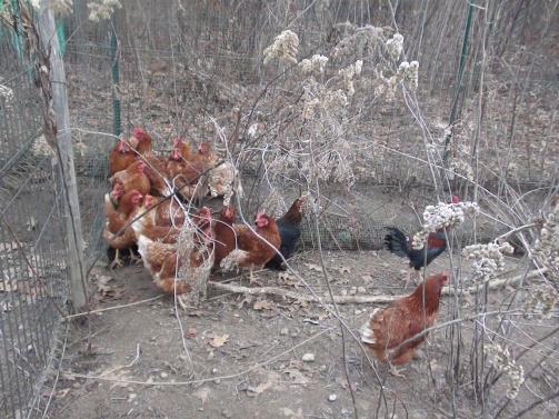 Le altre galline spaventate